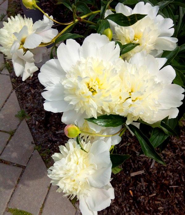 Palvelutalon pihan kukkaistutus Espoossa - kuvassa valkoinen kukka